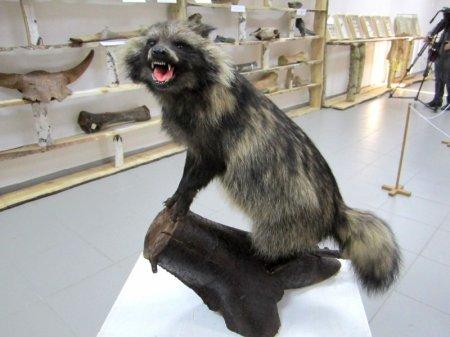 Чучело редкой собаки появилось в Краеведческом музее