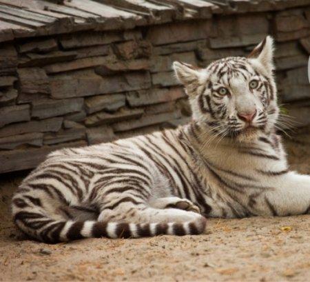 Белый тигренок улетел из Новосибирска в Краснодар