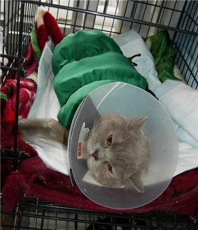 Ветеринары спасли от смерти объевшегося конфетами кота