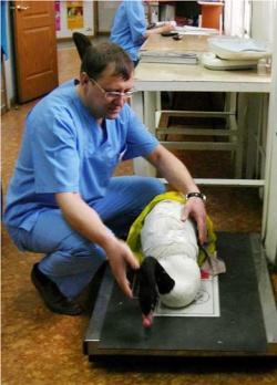 Новосибирские хирурги спасли крыло черношейному лебедю