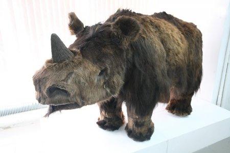 В краеведческом музее поселился шерстистый носорожек
