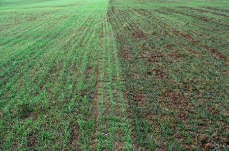 Выживаемость зерновых после посева