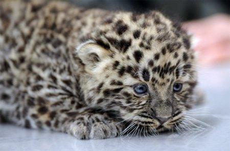 Пополнение кошачьей коллекции Новосибирского зоопарка