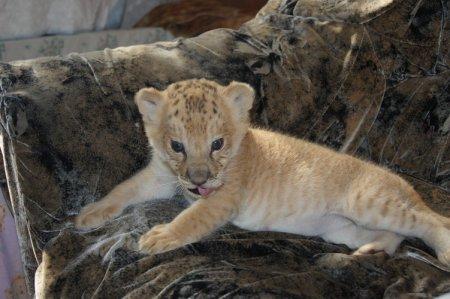 В Новосибирском зоопарке лигрица Зита родила первого своего малыша